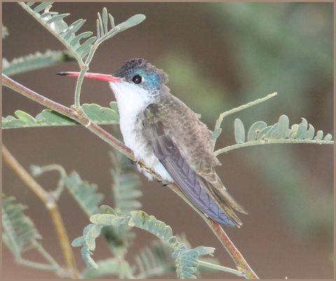 Violet-crowned Hummingbird Migration Fact 3