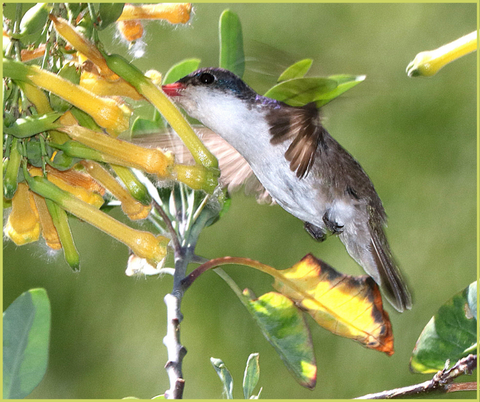 Violet-Crowned Hummingbird Migration Fact 1