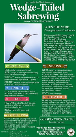 Wedge-tailed Sabrewing Infographic