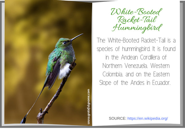 White-Booted Racket-Tail Hummingbird