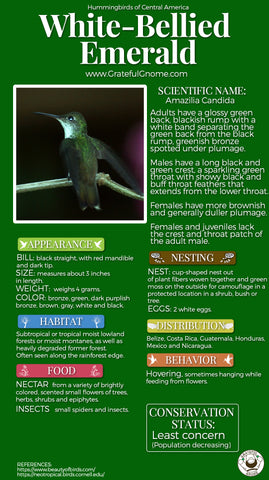White-bellied Emerald Infographic
