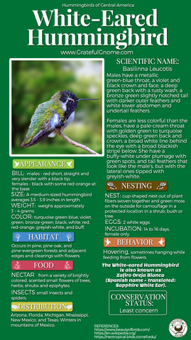 White-eared Hummingbird Infographic