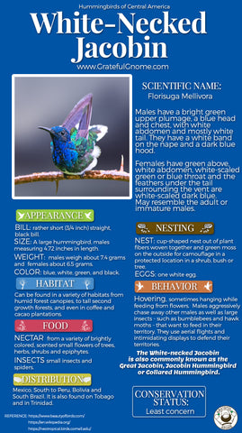 White-necked Jacobin Infographic