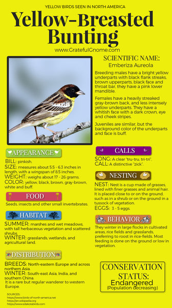 Yellow-breasted Bunting Infographic