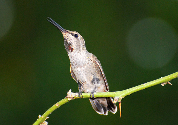 hummingbird-perches