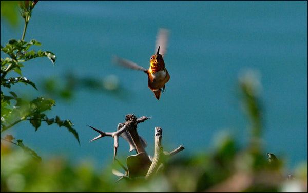 do-hummingbirds-die-when-they-stop-flying