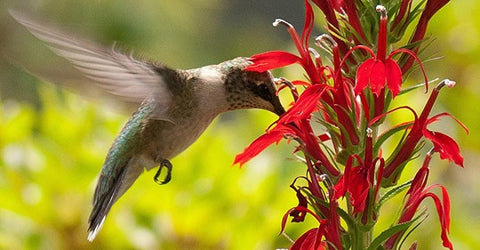 flowers-that-attract-hummingbirds