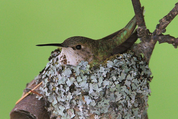 how-hummingbirds-use-spider-silk-to-build-better-nests
