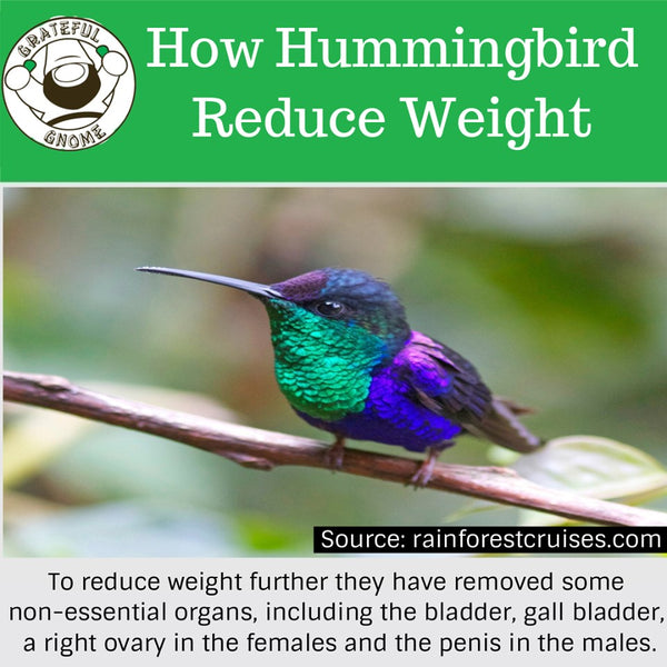 how hummingbird reduce weight