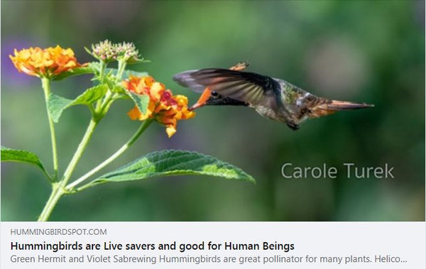 hummingbirds-are-life-savers-and-good-for-human-beings