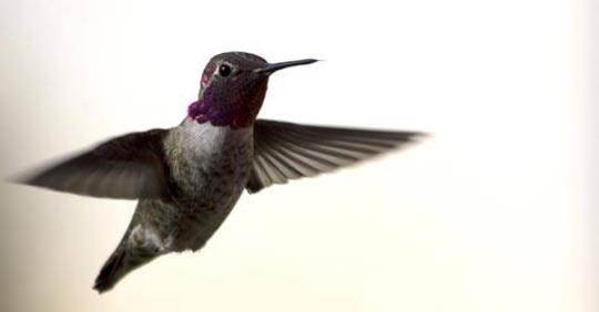 hummingbirds-are-natures-most-perfect-helicopters