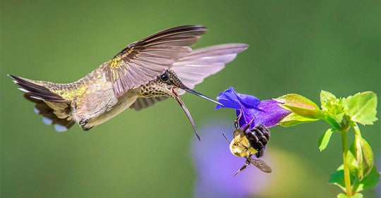 hummingbirds-as-feathered-bees