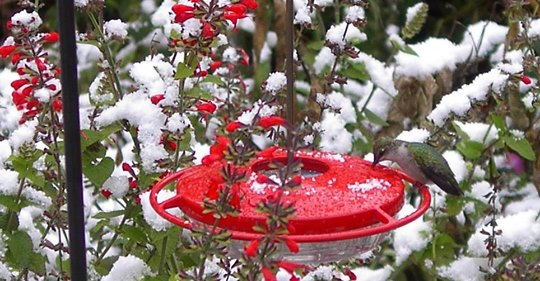 hummingbirds-in-winter