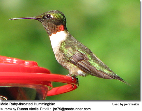 Ruby-Throated Hummingbird Migration