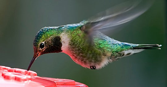 summertime-in-the-united-states-of-hummingbirds