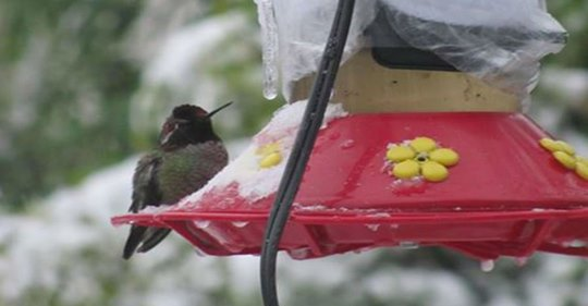 tips-for-feeding-hummingbirds-in-the-winter