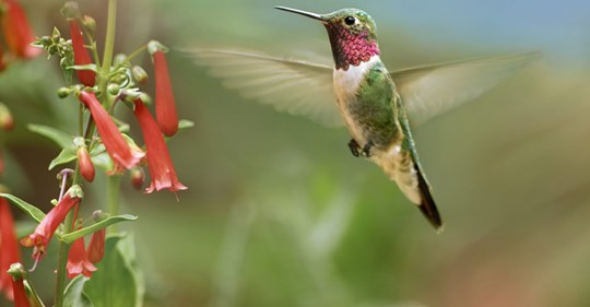 when-to-expect-hummingbirds-this-spring