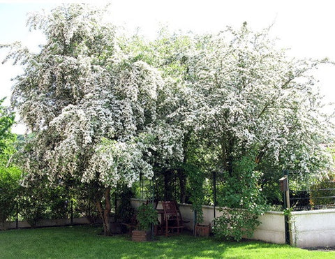Hawthorn tree in spring
