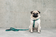 Wolves of Wellington Florida Standard Dog Lead and All Purpose Harness Pug | Smack Bang