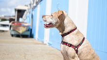Wolves of Wellington Buffalo Dog Collar and Front Clip Harness | Smack Bang