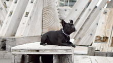 Wolves of Wellington Indy Dog Collar Frenchie | Smack Bang