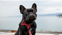 Wolves of Wellington Buffalo Dog Collar, Lead and Bow Tie Set Lola French Bulldog | Smack Bang