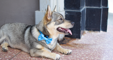 Wolves of Wellington Blue Shaka Dog Collar and Bow Tie | Swedish Vallhund | Smack Bang