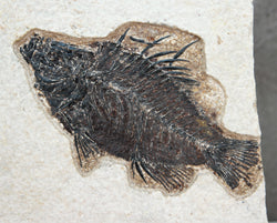 Fossilised Fish