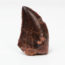 Serrated Black Carcharodontosaurus Tooth, Morocco