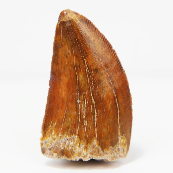Quality Carcharodontosaurus Tooth with Serrations