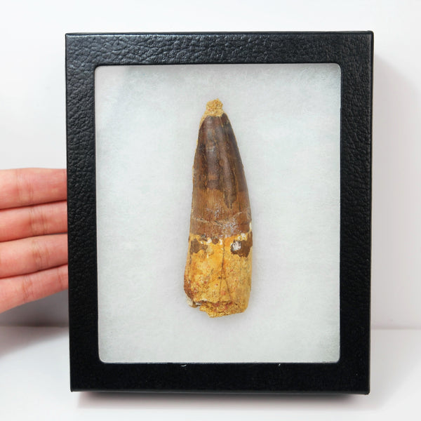 *TOP QUALITY* Spinosaurus Tooth Dinosaur Fossil, Morocco