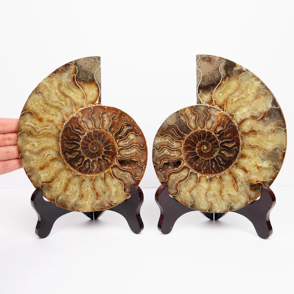 *1.2KG 2.6 LBS* 18cm 7inches Split Ammonite Pair