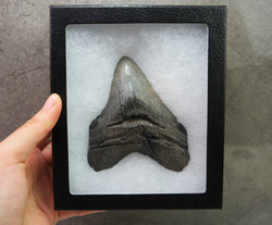 *PATHOLOGICAL* Megalodon Shark Tooth Fossil