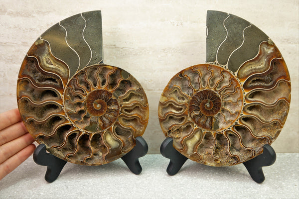 "6.5"" 16cm Ammonite Fossil Split Pair *HOLLOW CHAMBERS*"