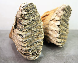Woolly Mammoth Fossil Teeth *ARTICULATE SET*