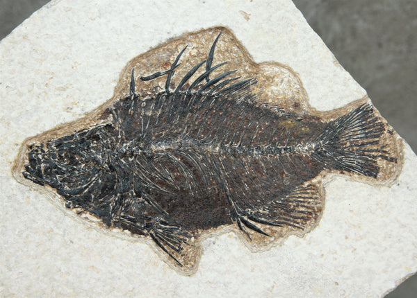 PRISCACARA Fish Fossil, Green River Wyoming, USA