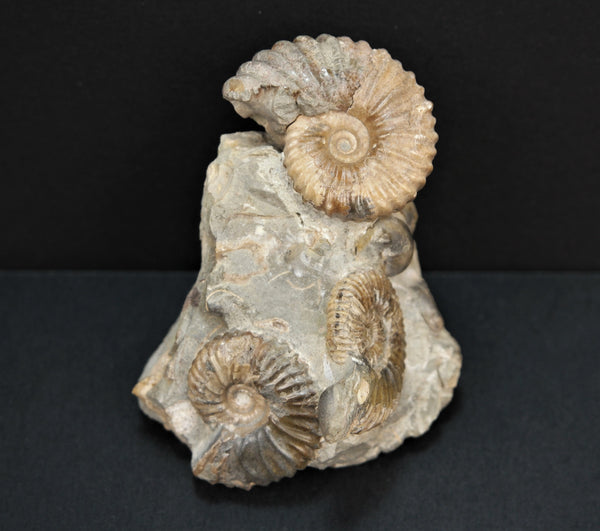 *NATURAL CLUSTER* Ammonite Fossil from Russia