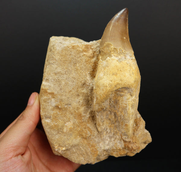 Mosasaurus Tooth Fossil with Root in Matrix