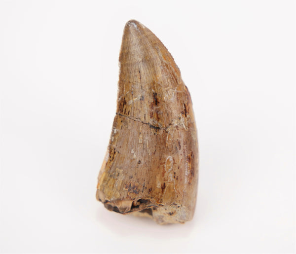 Tyrannosaurid indet. Tooth from Judith River Formation