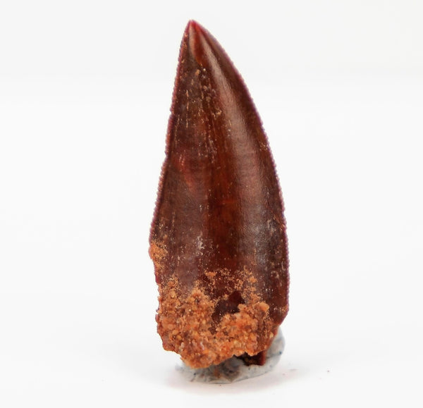 Quality Red Abelisaurid Tooth from Morocco