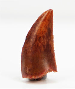 Finest Quality - Dromaeosaurid Raptor Tooth from Morocco