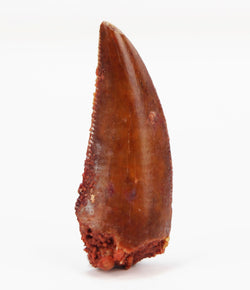 Superior Red Abelisaurid Tooth, Morocco