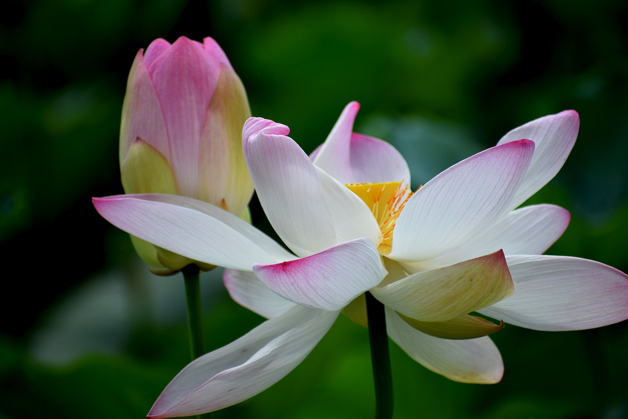 The Power of the Mystical Lotus Flower