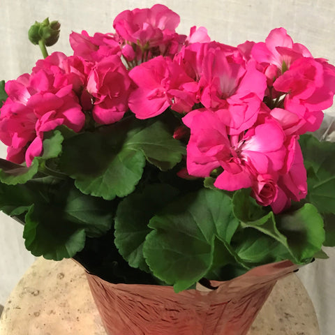 "6"" Geranium, Variety of Colors"