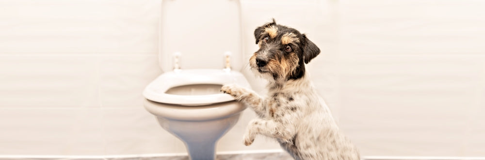 TRAIN YOUR DOG TO USE YOUR TOILET