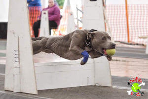 Junkyard Dogs Flyball Team Secure Support from The Golden Paste Company