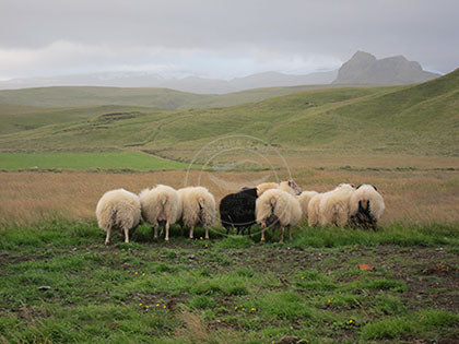 Iceland: Black Sheep of the Family