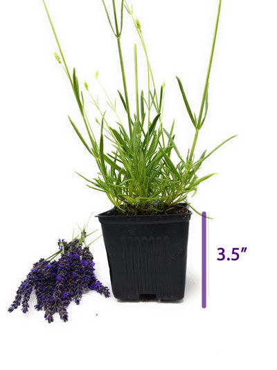 "Lavender French Provence - 3.5"" Size Pot - Findlavender"
