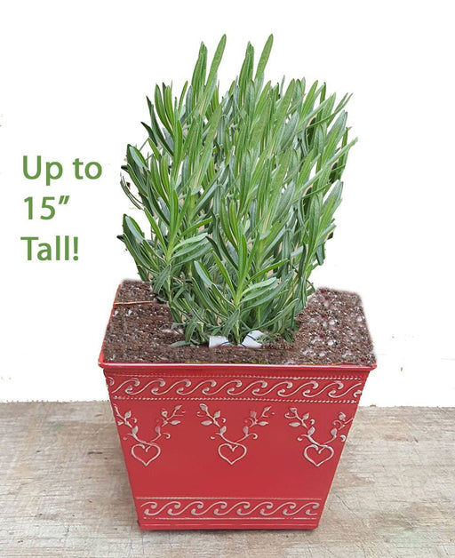Gift Planters - Include Plant and Planter - Findlavender