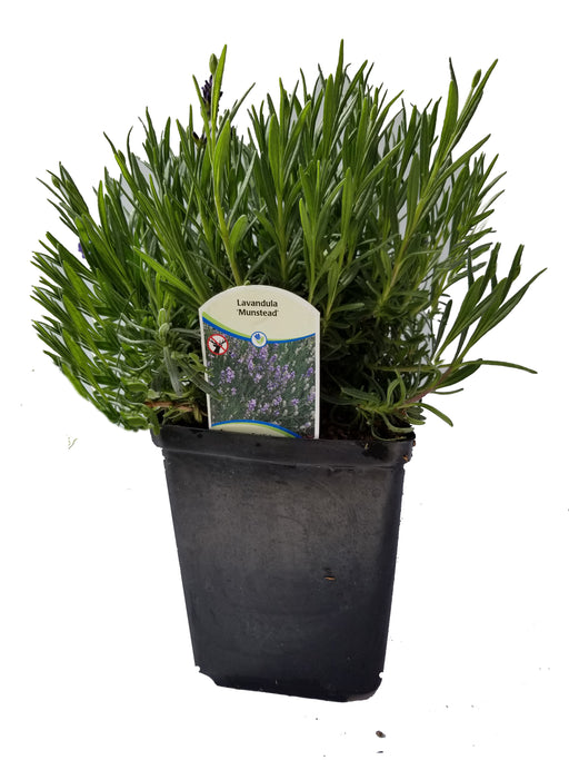 Lavender Angustifolia Munstead - 1gal Size Pot